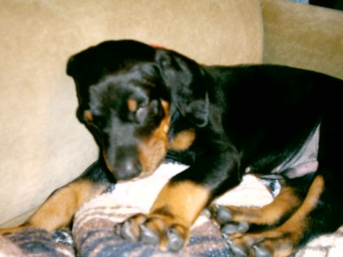 Moses (Doberman) - asleep on our sofa
